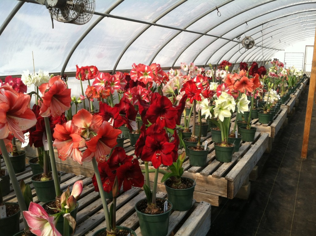 Greenhouse full of blooming Amaryllis