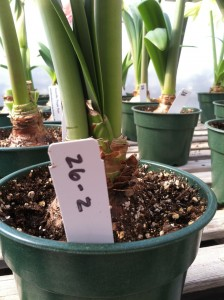 Amaryllis with numbers