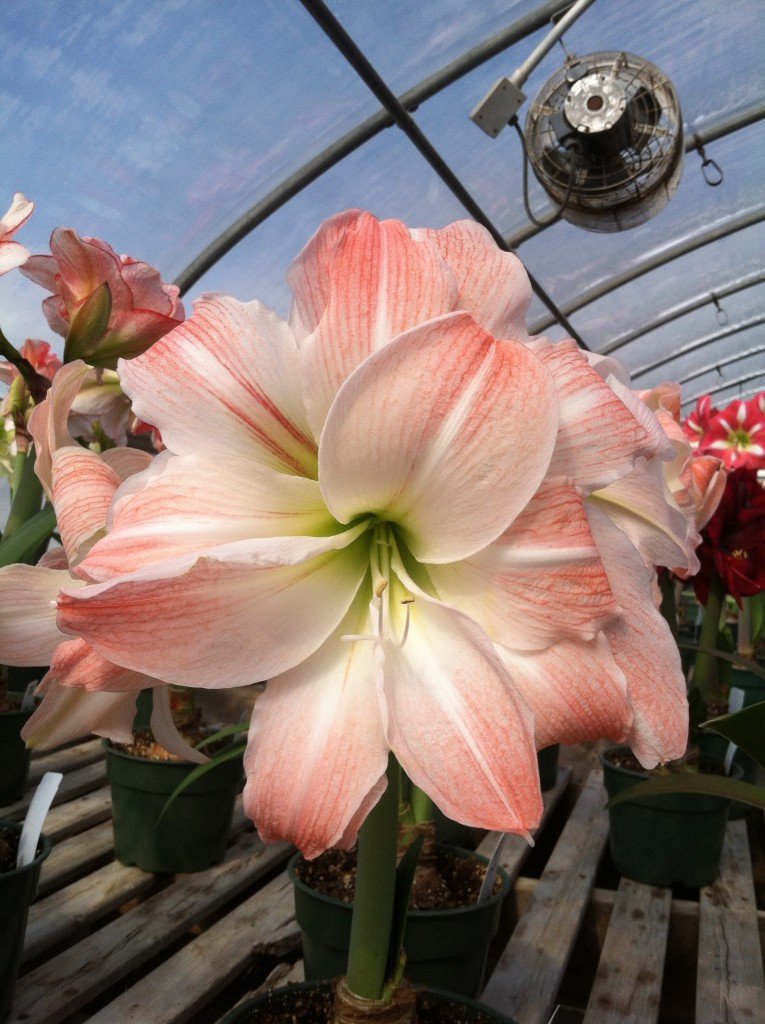 pink and white Amaryllis