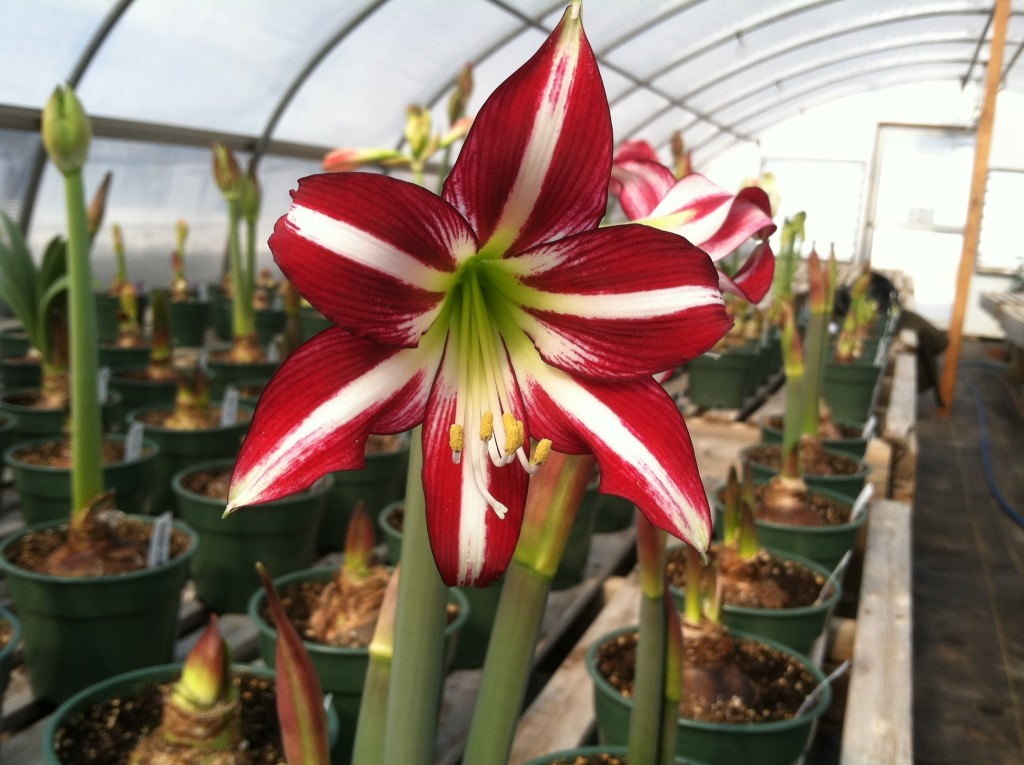 Lorraine Looks for Amaryllis with Interesting Color Combinations