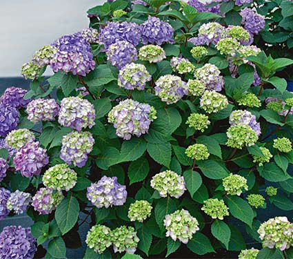 Hydrangea macrophylla Endless Summer® BloomStruck®