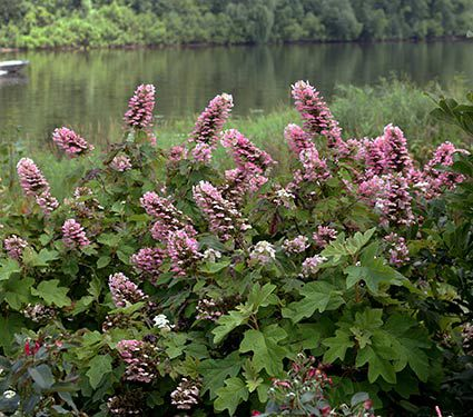Hydrangea quercifolia Gatsby Pink®
