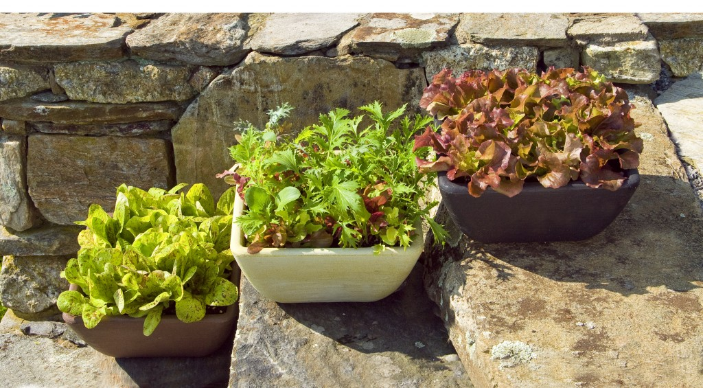 lettuce as container gardens