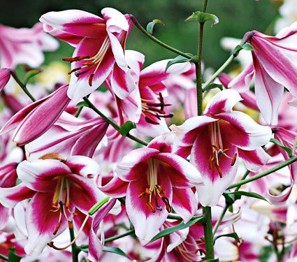 'Silk Road': Here is an Orienpet Lily with huge, intoxicatingly fragrant 8″ flowers that are borne on spires up to 2′ across for longer than you thought possible. It's the winner of the North American Lily Society's popularity poll for 4 straight years.