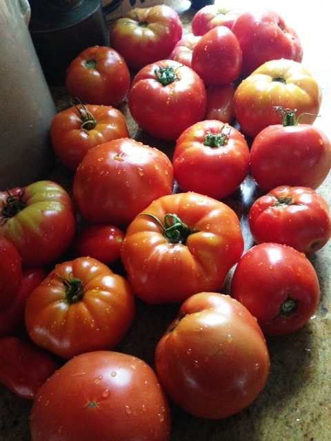 One day's tomato harvest, rinsed and ready for cooking and freezing