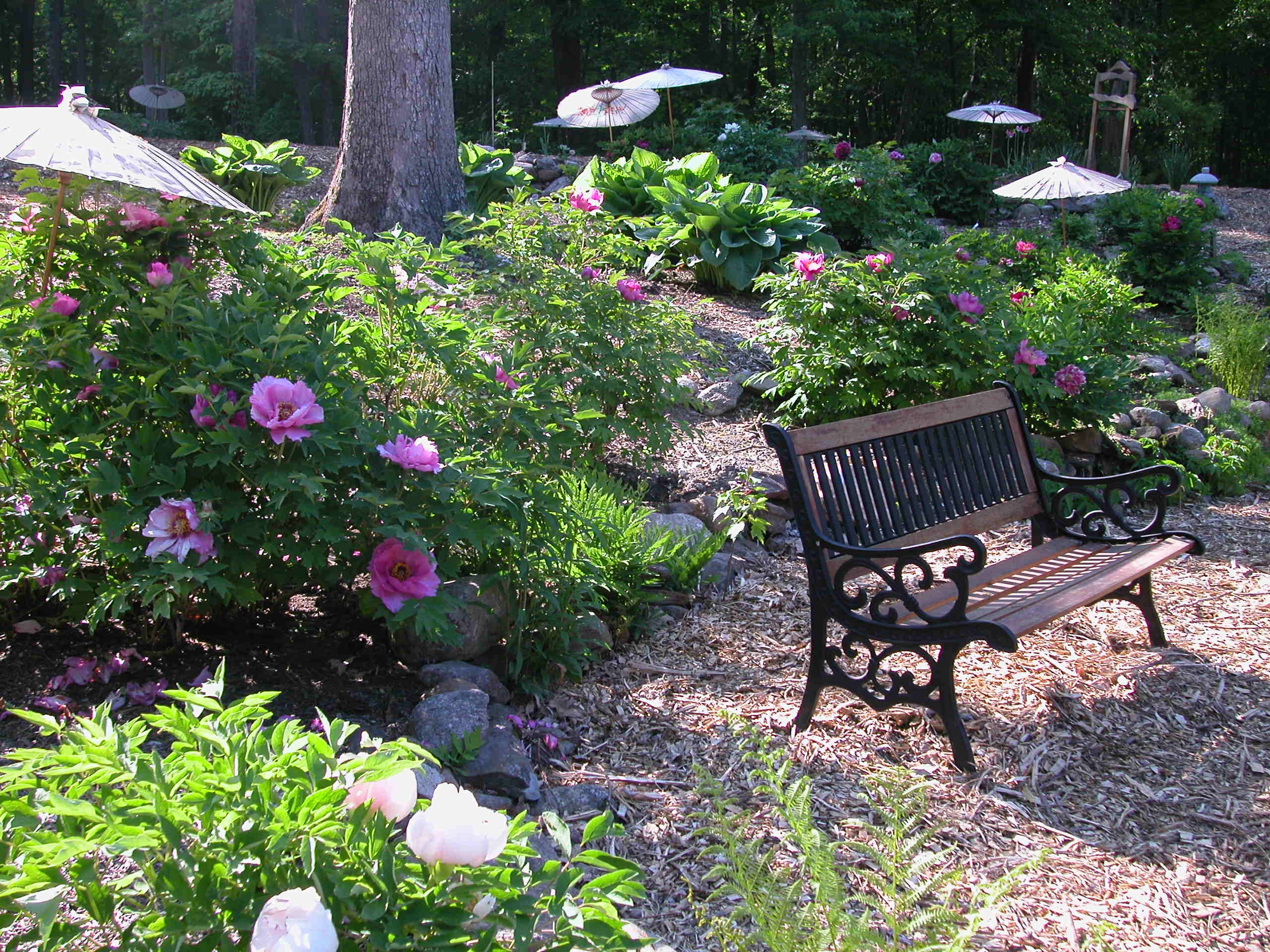 Umbrellas shade the glorious peony blossoms at Cricket Hill Garden in Thomaston, CT