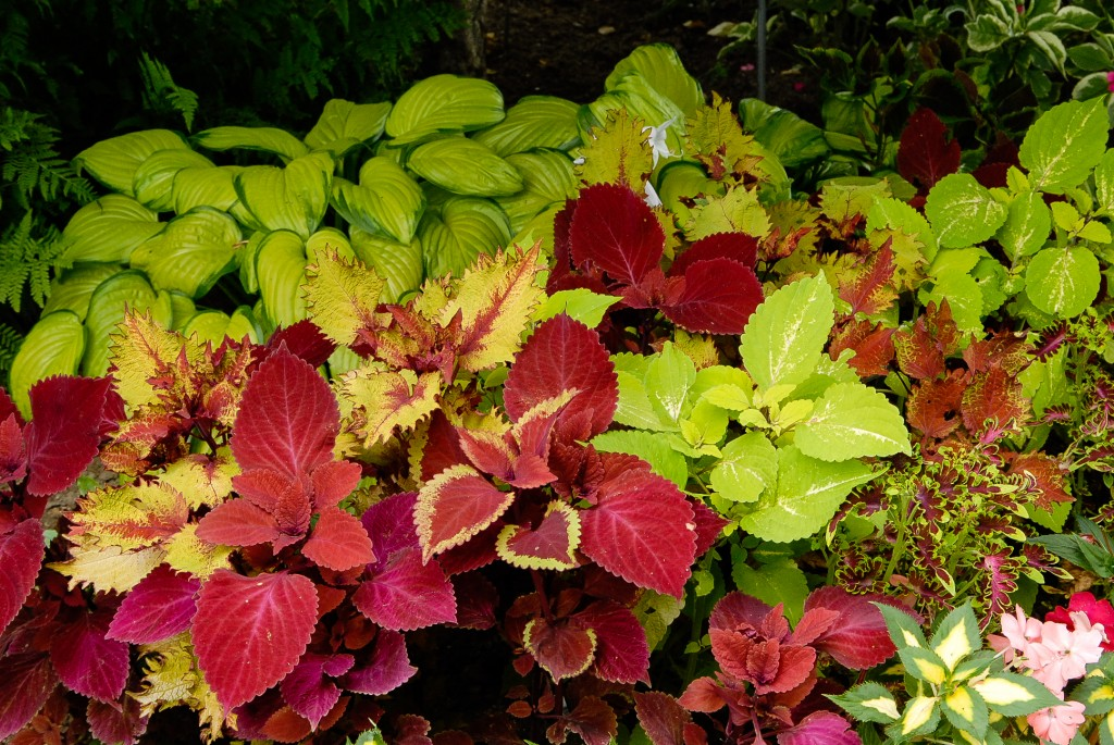 coleus under the sea electric coral, begonia fireball, ipomoea bright ideas rusty red, coleus stained glassworks, coleus henna and coleus vino, sunpatiens carmine spreading red, coleus redhead