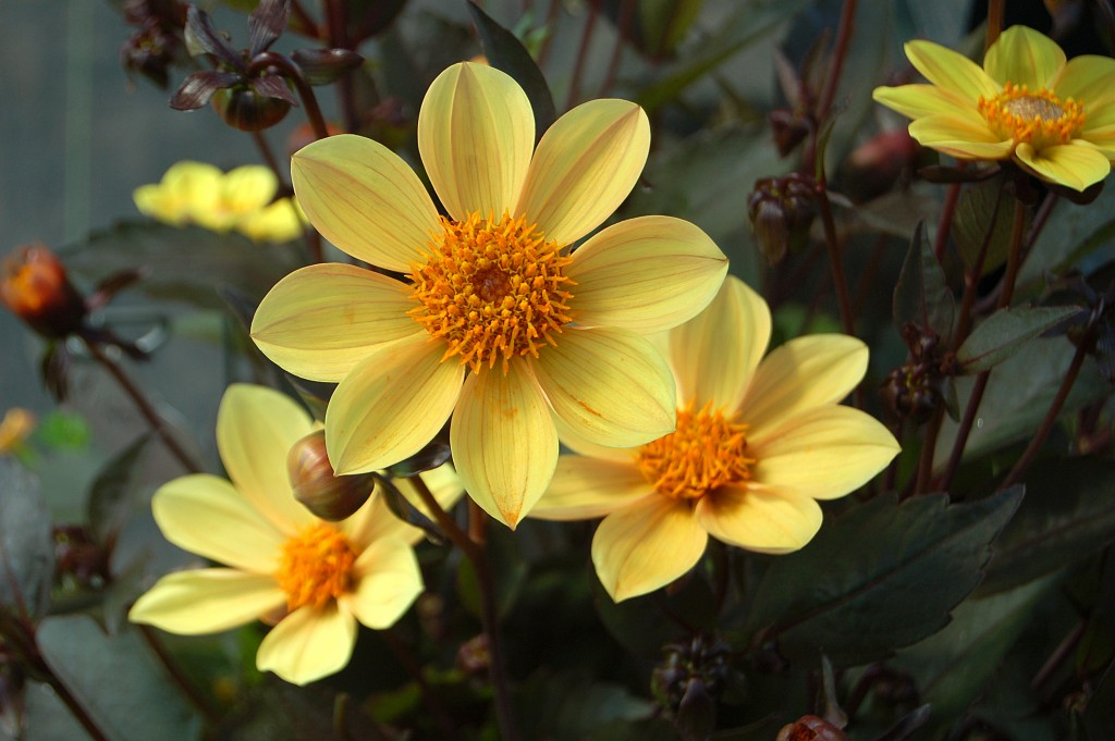DAHLIA 'HAPPY SINGLE PARTY', 40980