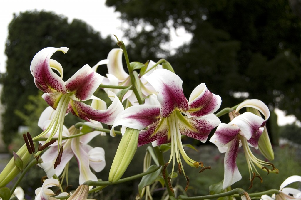 Lilium, Lily (unknown variety)
