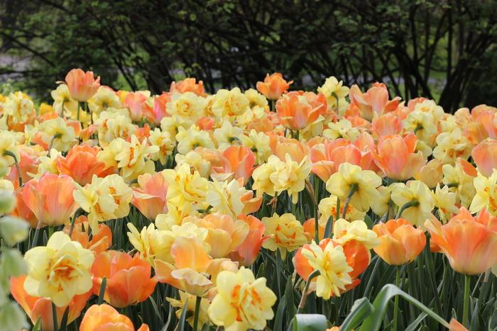 tulipsnar