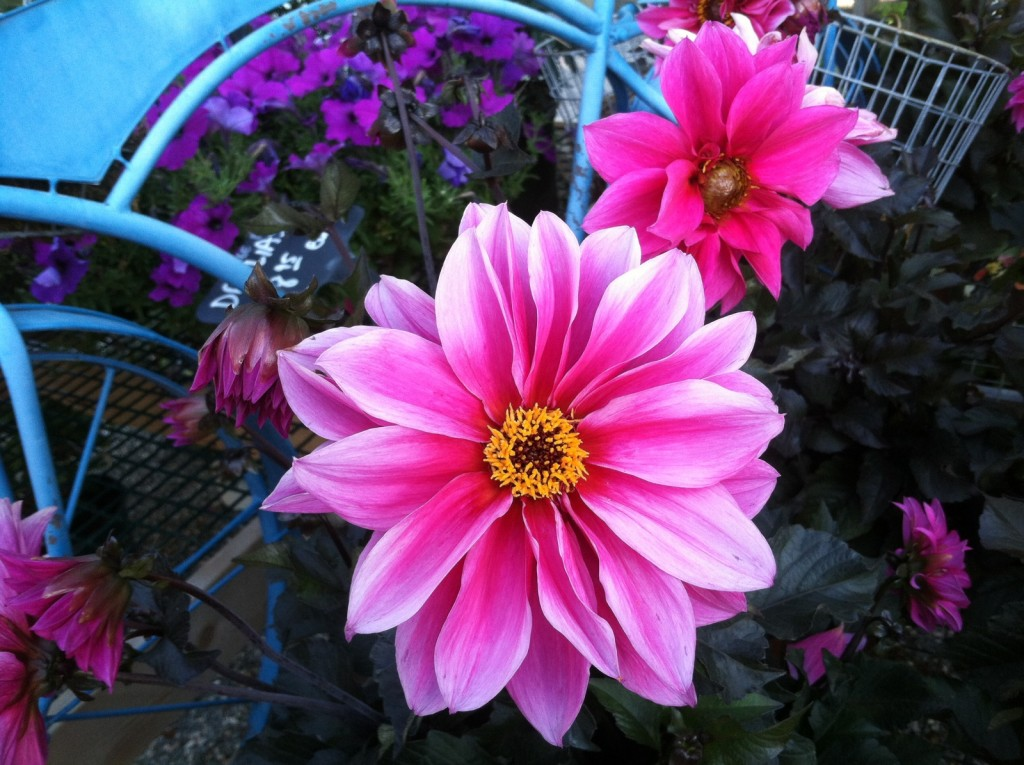 Dahlia 'Fascination' at the Store_6.27.16