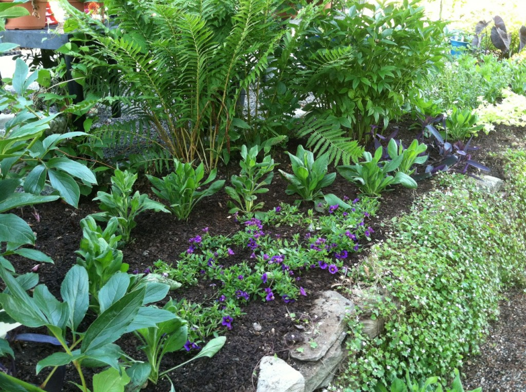 New residents of the sunny bed at the store include purple-flowering calibrachoa, Ostrich Fern, herbaceous peonie
