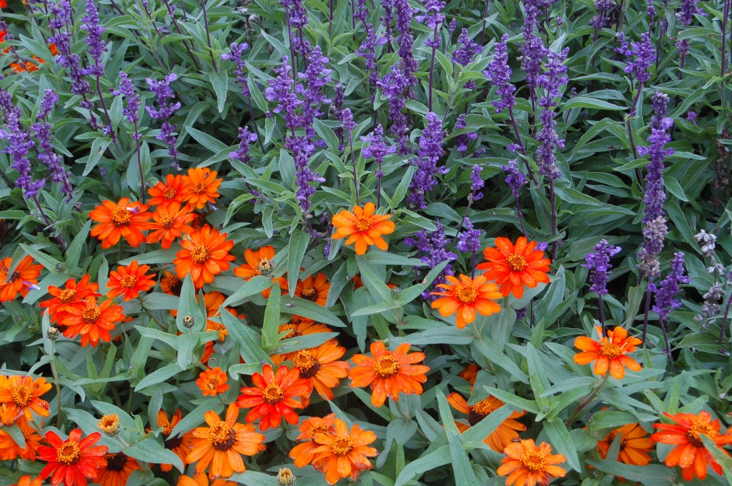 ZINNIA ORANGE PROFUSION, SALVIA