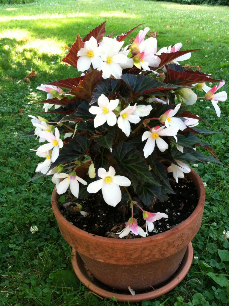 Begonia Unstoppable Upright Big White
