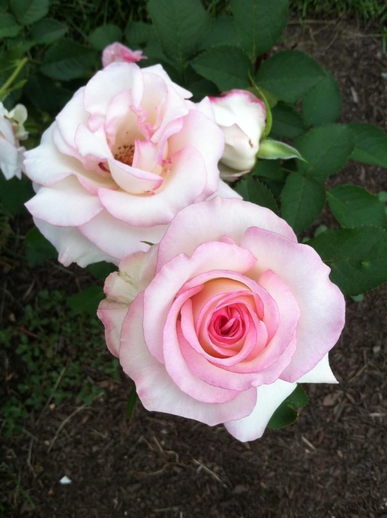 Rose 'Moonstone'
