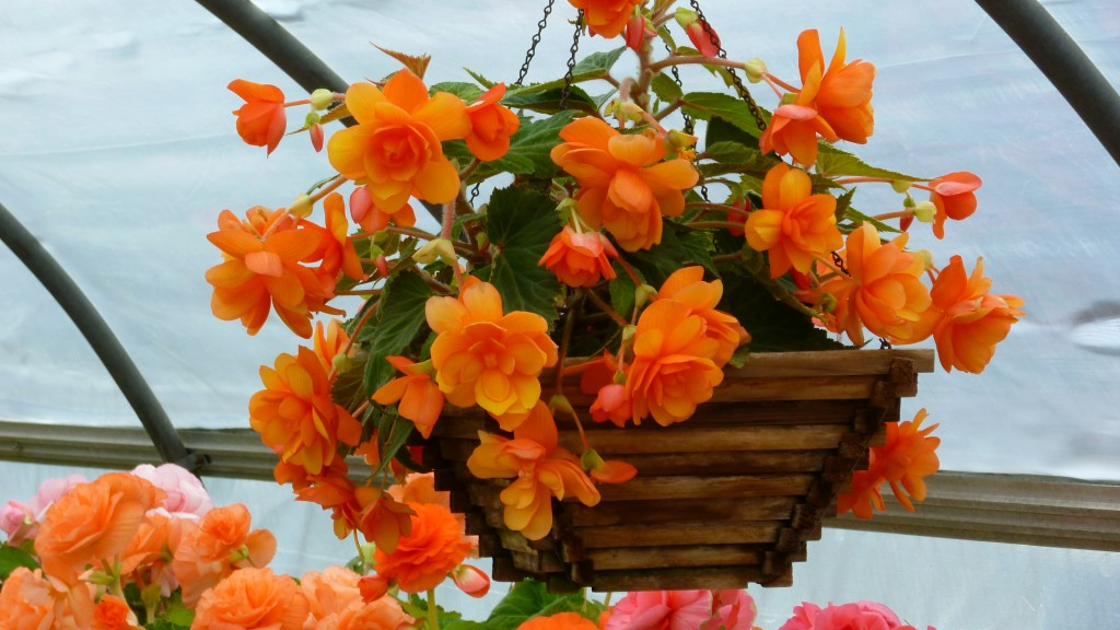 B&L Tuberous Begonia 'Firedance' in hanging basket.