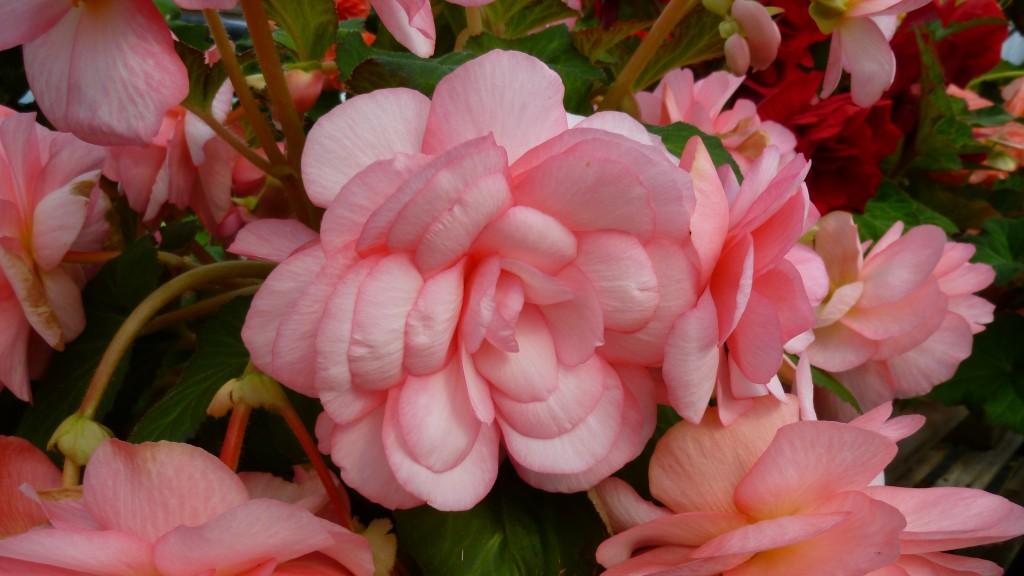 Blackmore & Langdon Tuberous Begonia 'Nectar.'