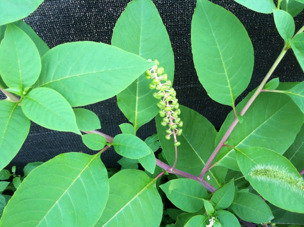 1a. weeds_pokeweed