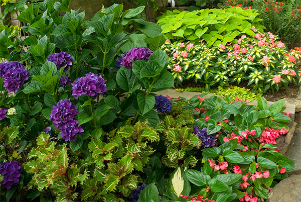 2.-Hydrangea-Color-Fantasy(R)-adds-its-large,-deep-purple-Mophead-blossoms-to-the-shady-color-show