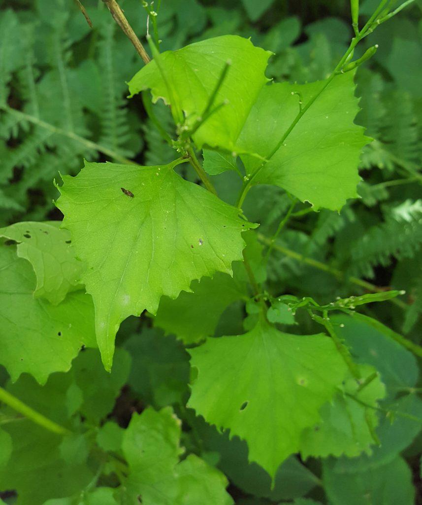 9. Alliaria petiolata_garlic mustard