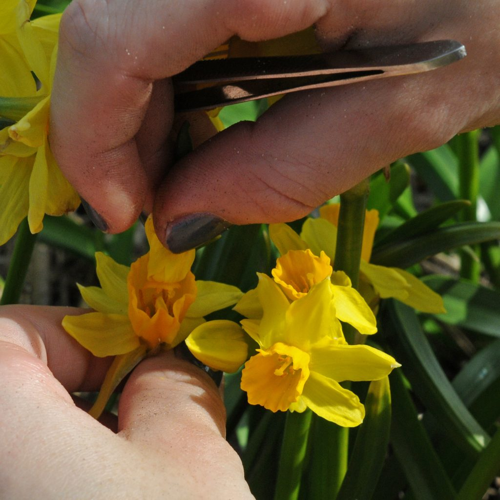 2. breeding daffs_Pic 2 pollinating