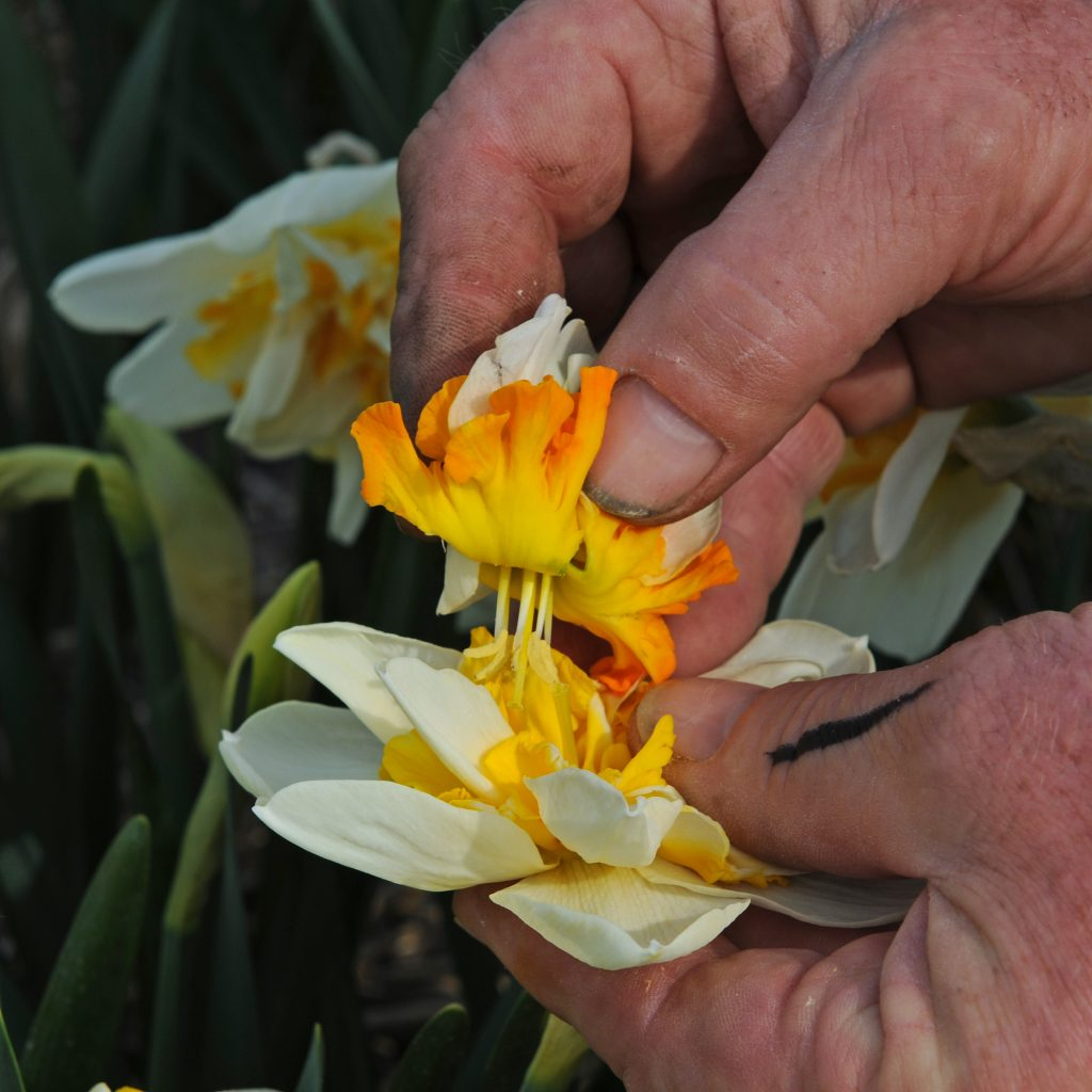 3. breeding daffs_Pic 3 pollinating