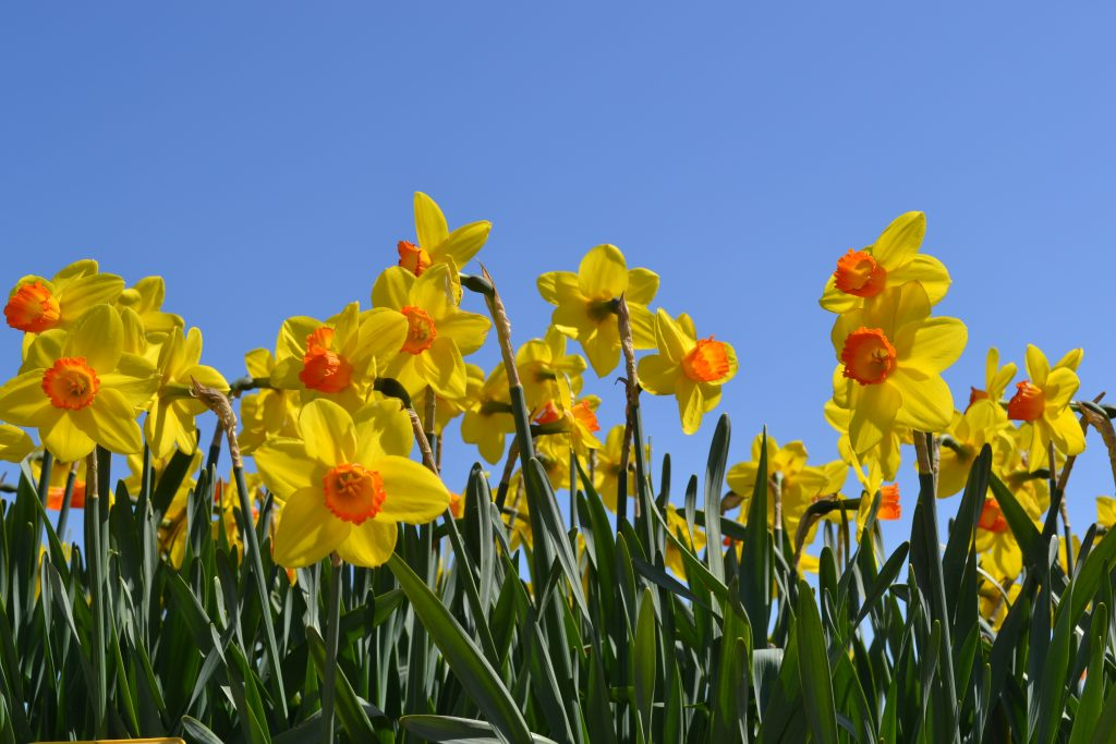 Narcsissus Pinza_colorful daff blue sky_RS