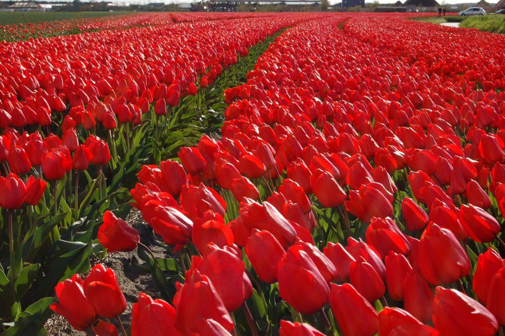 Tulip 'Lalibella'