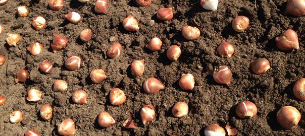 1-lead-photo_planting-the-tulip-border