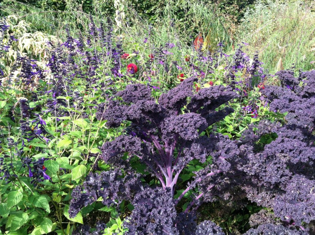 Purple kale won't be taken out of the garden until a deep freeze. For now, the intense color adds beauty to the autumn landscape.