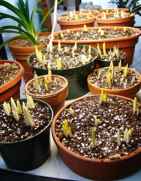 Forced bulbs under lights