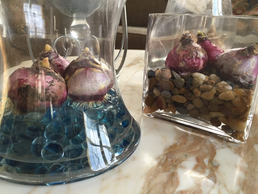 The whiskery white roots of some Hyacinth bulbs appeared in just 24 hours.