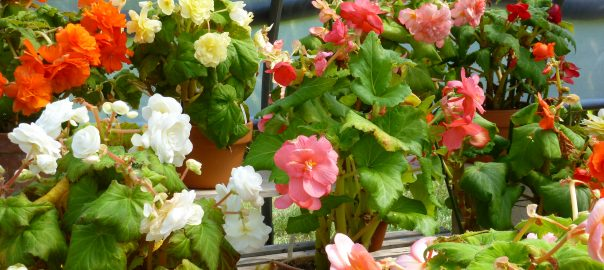 1-in-autumn-the-tuberous-begonias-begin-showing-signs-of-fatigue-that-means-its-time-to-close-the-display-house