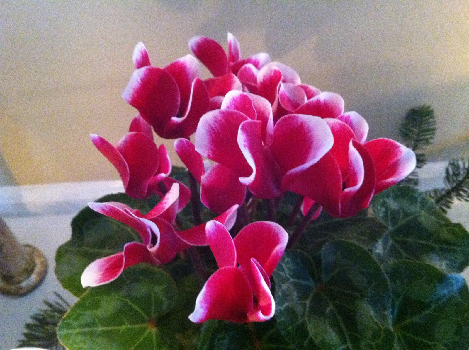 2a-cyclamen-on-the-mantel_closeup