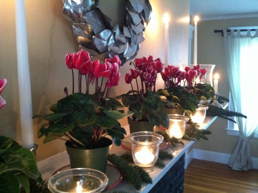 3a-cyclamen-in-candlelight