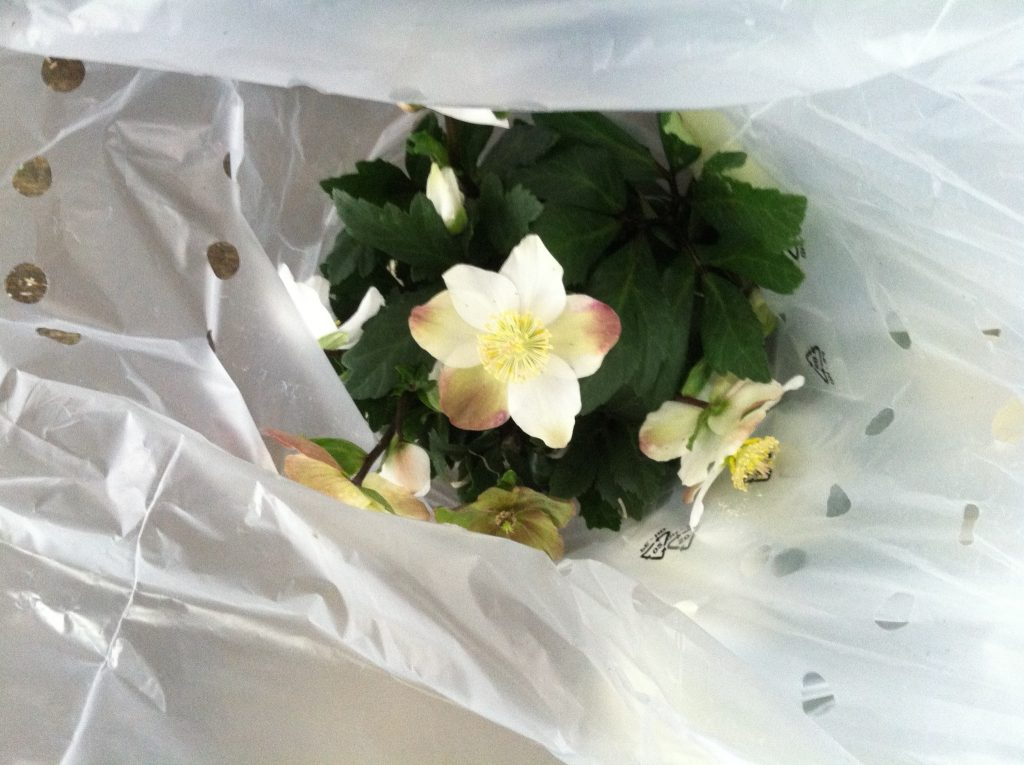 A Christmas Rose (Helleborus niger) wrapped in a plastic sleeve, waiting to be boxed.