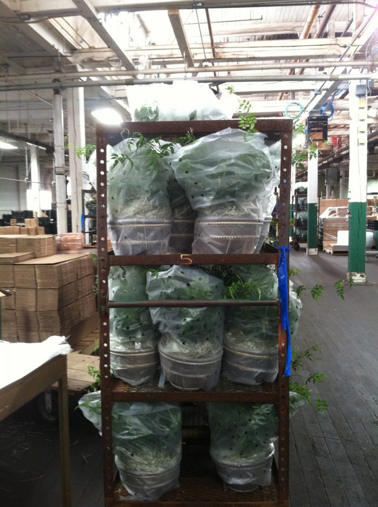 Bushy Jasmine plants in Wrenthorpe Pancheons, bundled and wrapped in sleeves and waiting for boxes.