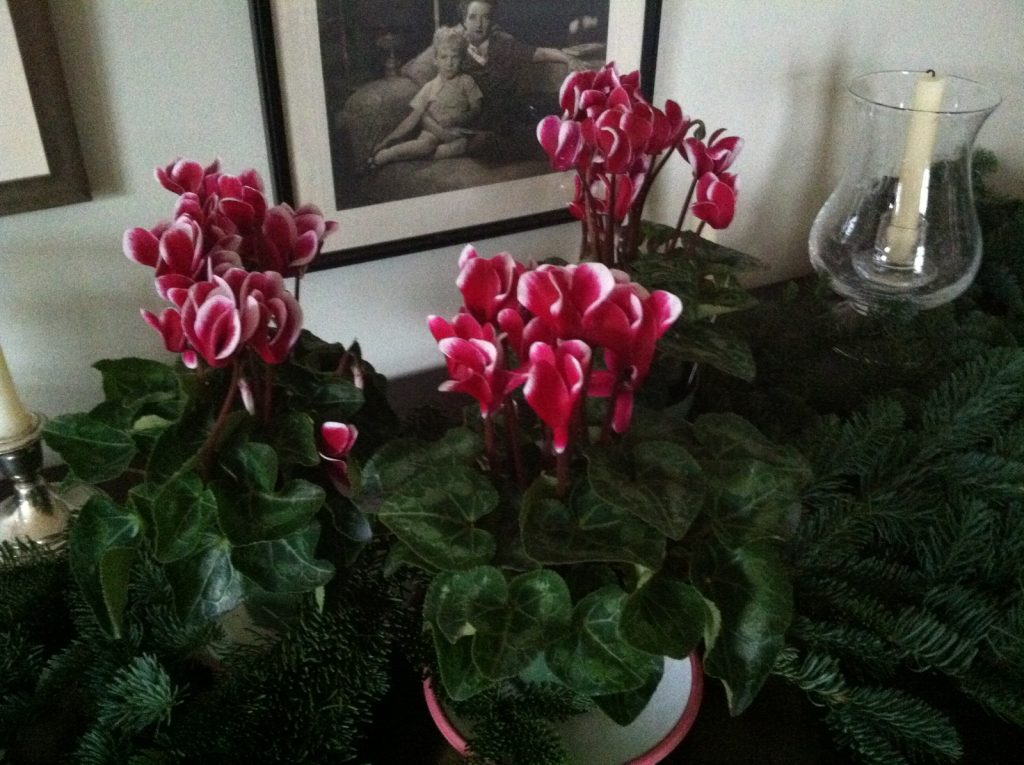 cyclamen-on-the-sideboard