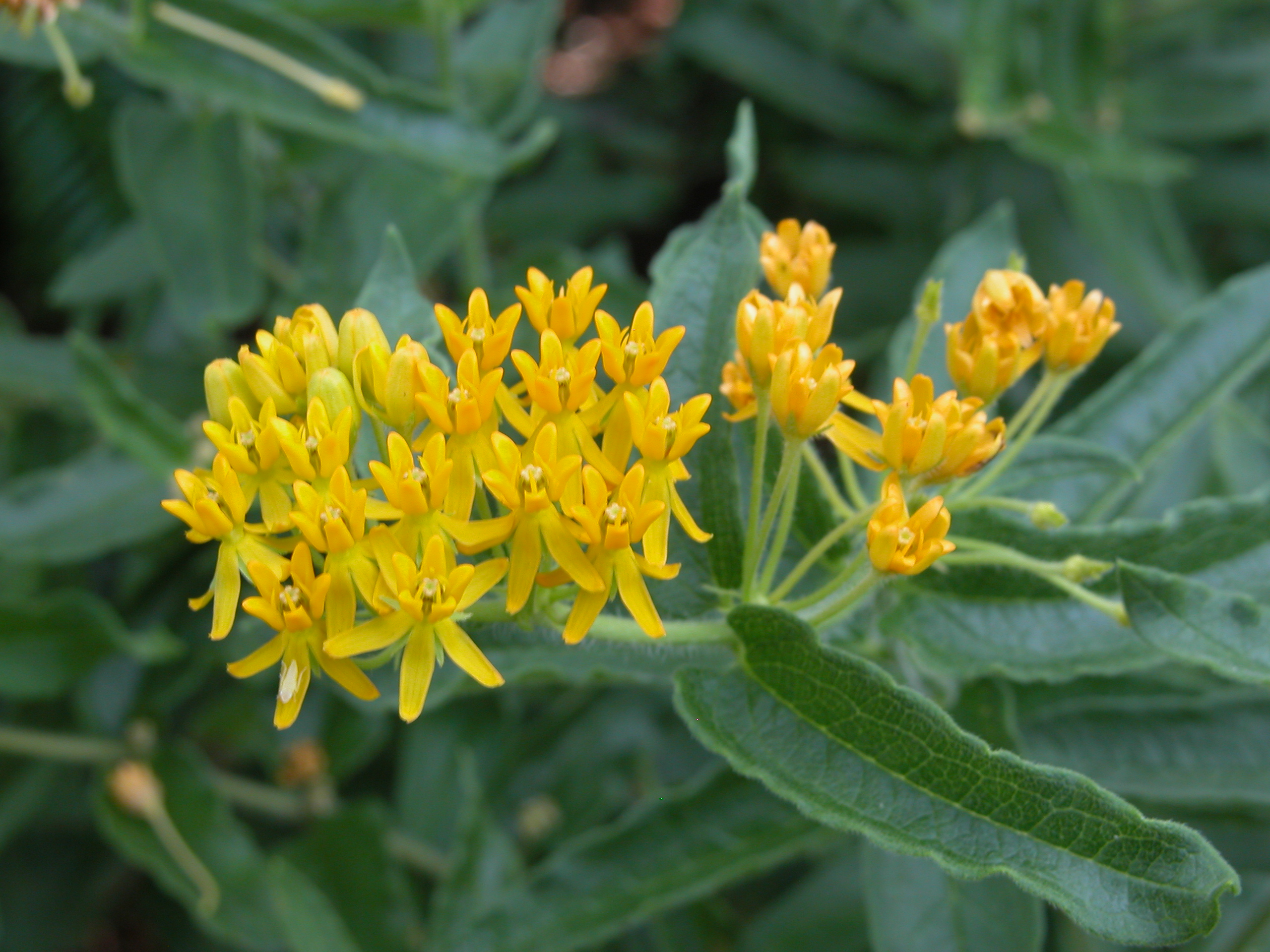 ASCLEPIAS TUBEROSA (YELLOW FORM)