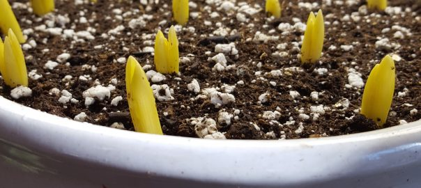 bulbs-brought-indoors-to-bloom
