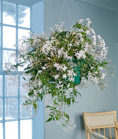 Jasmine in bloom on a wintry day