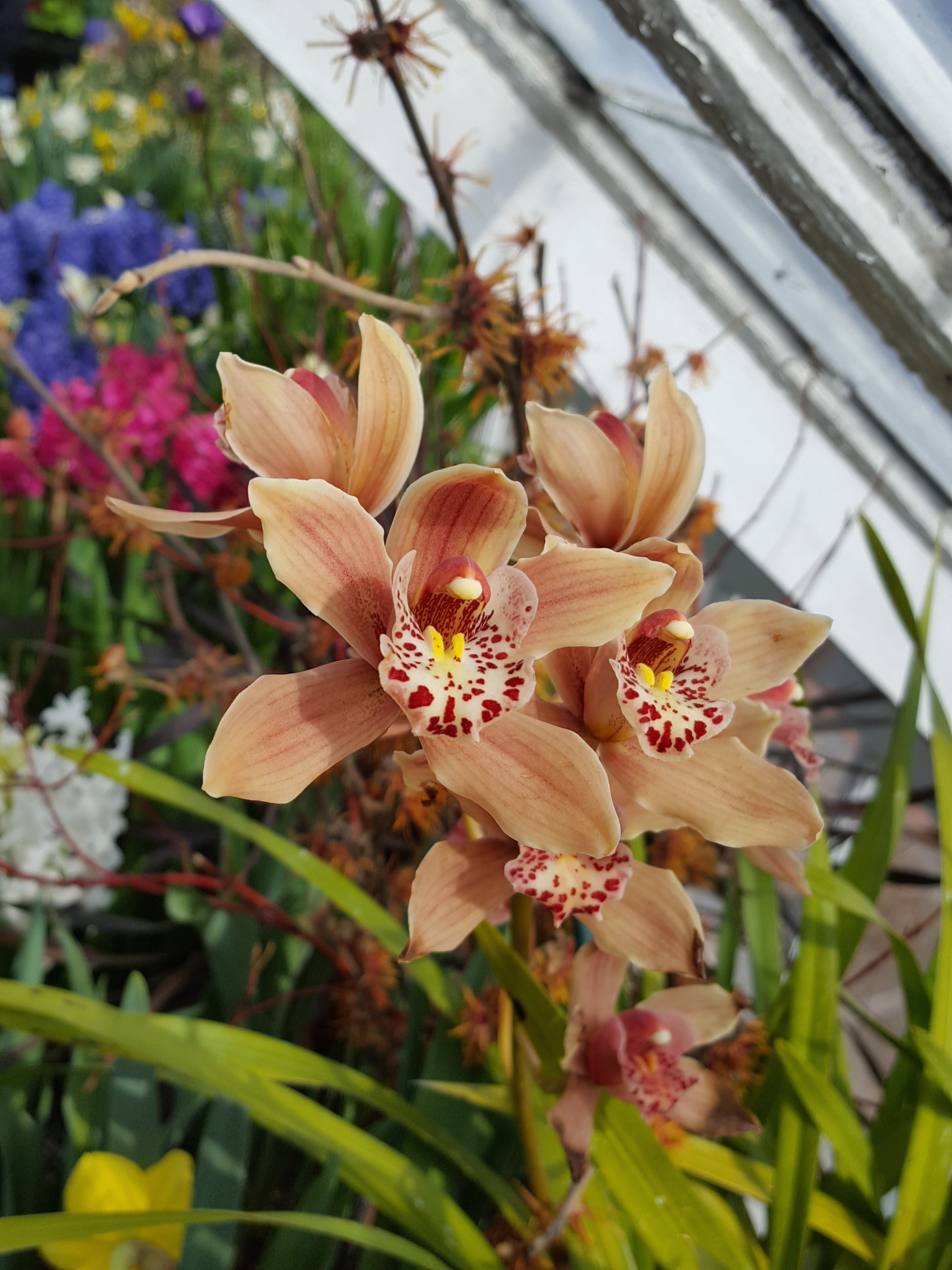 cymbidium-with-forced-hamamelis-x-intermedia-jelena