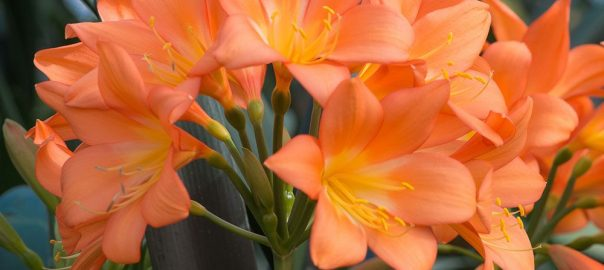 Clivia 'Longwood Sunset,' one of several new releases from the Longwood Gardens breeding program.