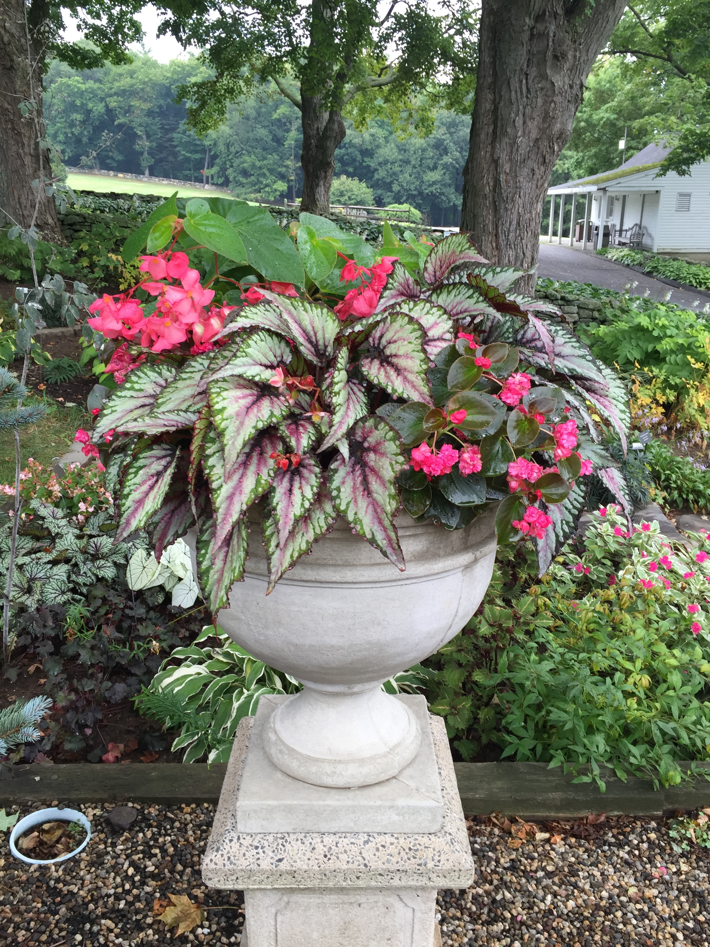 Campania Montgomery Urn with Begonia rex Salsa, Begonia Gumdrop Coco Rose, and Begonia Dragon Wing Pink