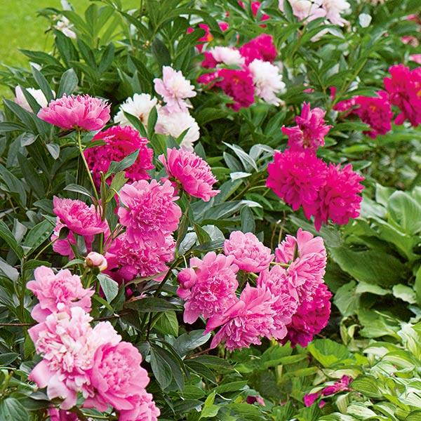 These huge blooms of Old-time Peony Collection are on display in June.