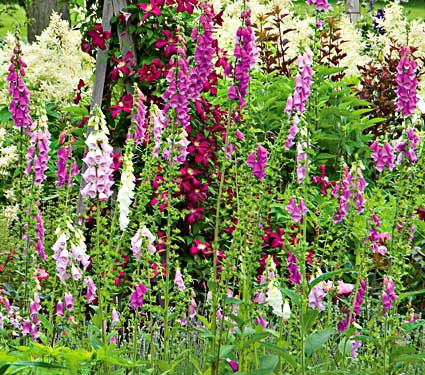 The blooms of Digitalis purpurea Excelsior Hybrids show off shades of pink to lavender pink, light pink and white in June and July.