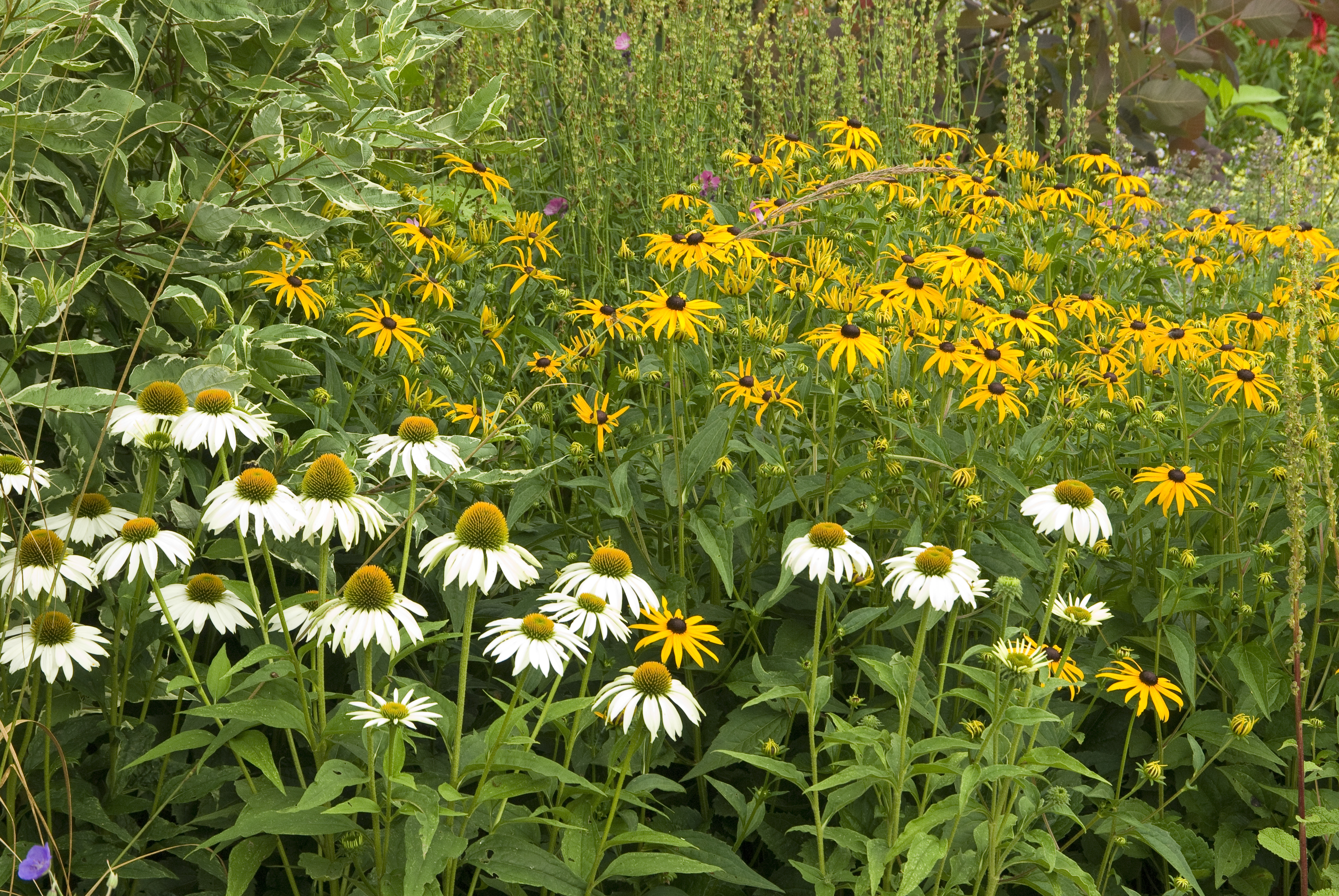 Native plants for autumn interest white flower farms blog the white flowering coneflower echinacea purpurea white swan and rudbeckia fulgida sullivantii goldsturm are both improved natives and theyre both mightylinksfo