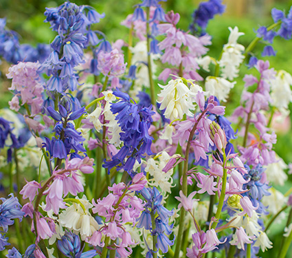 Spanish Bluebells Mixture