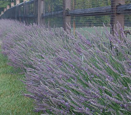 Lavender Phenomenal