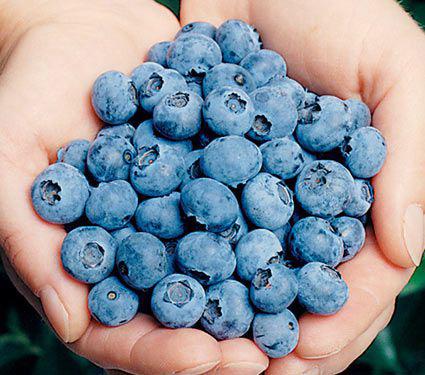 Blueberry Elliott